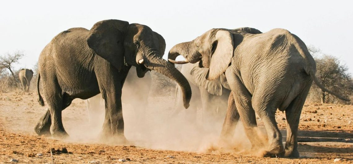 African elephants fighting_why do they do it