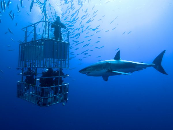 shark cage diving adventure tour south africa