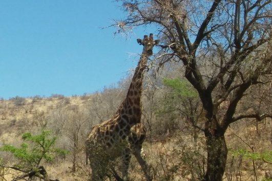 Safari day tour south africa_pilanesberg