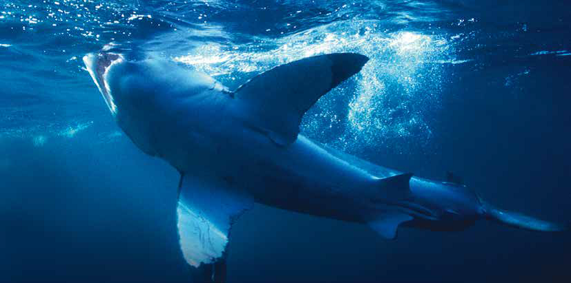 White shark volunteer programme south africa1