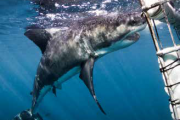 White shark volunteer programme south africa2