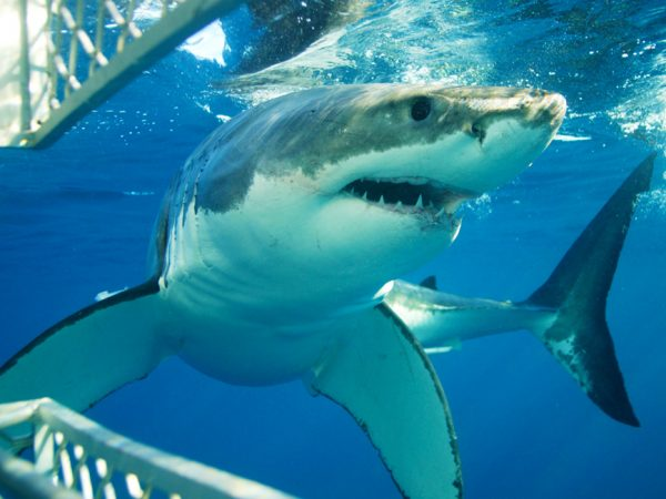 Shark cage diving tour adventure cape town south africa