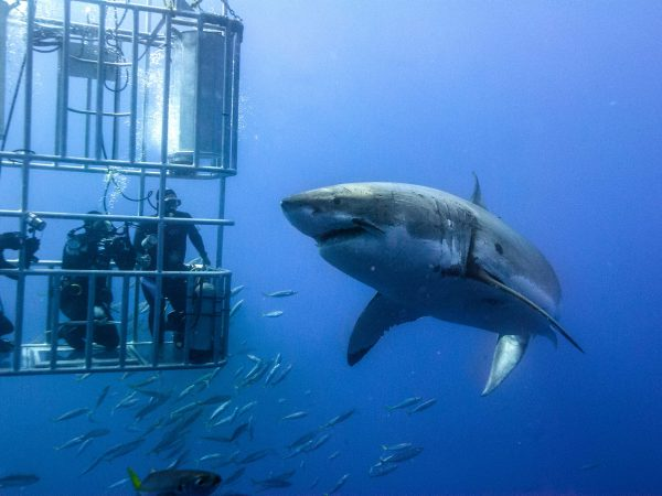 shark cage diving day tour cape town south africa