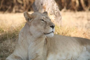 Half Day Lion Park Tour