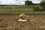 Lion Park Tour near johannebsurg south africa_guided lion park tour jhb south africa_2